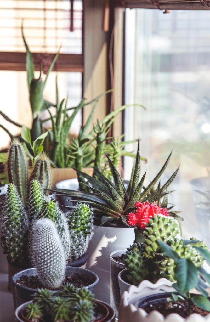 Cacti indoors